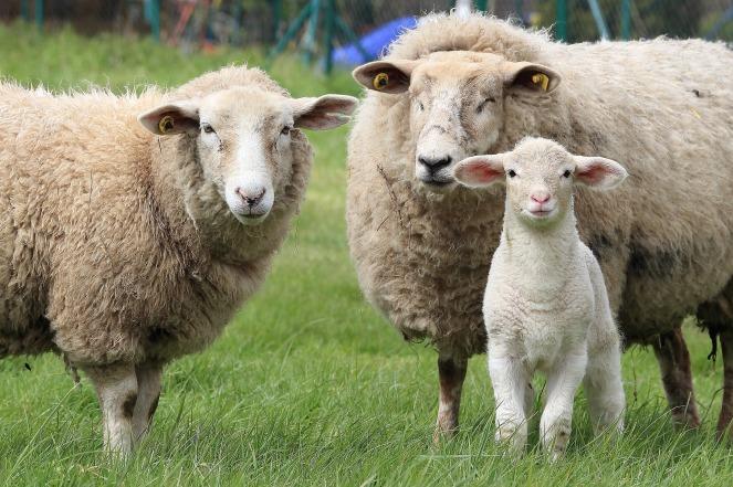 lamb2